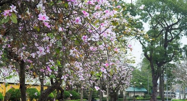 Hanoi Blossom